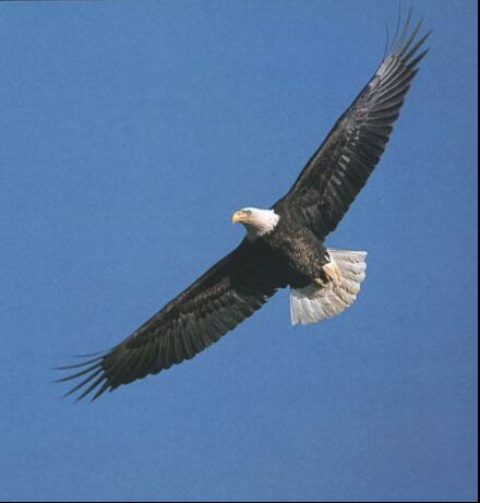 Photo of North American bald eagle flying